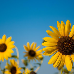 Sunflowers by Sandeep Kochar - Nature Up Close Flowers - 2011-2013
