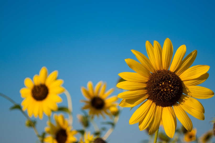 Sunflowers by Sandeep Kochar - Nature Up Close Flowers - 2011-2013