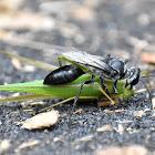 Katydid Killer (Wasp)