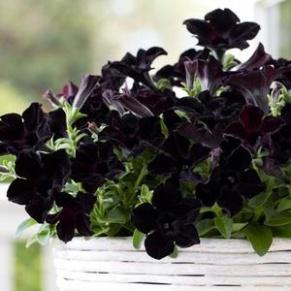 http://www.gardenharvestsupply.com/productcart/pc/catalog/Crazytunia_Black_Mamba_M.jpg