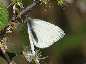 Photo: Priorslee Lake The first butterfly for me at the lake this year – a Green-veined White (Pieris napi) on Blackthorn blossom. (Ed Wilson)