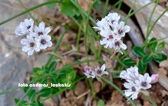 Photo: Allium callimischon - ssp haemostictum Το AΛΛΙΟ ΤΟ ΚΑΛΛΙΜΙΣΧΟ είναι ένα όμορφο φθινοπωρινό άγριο σκόρδο (ήκρεμμύδι), ενδημικό της Ελλάδας.Στην Κρήτη η διαφορά με τα άλλα φυτά της ηπειρωτικής Ελλάδας είναι ότι φέρει στα πέταλλα στίγματα και όχι γραμμές και σε αυτό οφείλετε το υποόνομα haemostictum από τα Ελληνικά αίμα+στίγματα . το οποίο, όπως φανερώνει το όνομά του, φέρει κηλίδες στο χρώμα του αίματος στα τέπαλά του.  Το υποείδος αυτό φύεται μόνο στην Κρήτη και τα νοτιοδυτικά παράλια της Μ. Ασίας.Περιλαμβάνεται στον παγκόσμιο κατάλογο ειδών που χρήζουν προστασίας του Οργανισμού Ηνωμένων Εθνών και στα Άλλα Σημαντικά Είδη Φυτών του δικτύου «ΦΥΣΗ 2000».  Στην πιο πρόσφατη ταξινομική αναθεώρηση (APG III), το γένος Allium μετακινήθηκε στην οικογένεια Amaryllidaceae.Φύεται σε ασβεστολιθικά βραχώδη εδάφη, ελαιώνες, ανάμεσα σε φρύγανα, σε υψόμετρο από 400 έως 700 μ. Ανθίζει από μέσα Σεπτεμβρίου έως μέσα Νοεμβρίου.