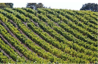 Photo: The lanes of grape vines at Retrospect Vineyards in Napa Valley California (photo borrow from their website)