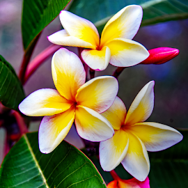 Plumeria by Clyde Smith - Flowers Tree Blossoms