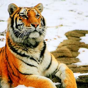 Curiousity by Amanda Westerlund - Animals Other Mammals ( wild, cat, tiger, gray, mammal, spot, zoo, pittsburgh, snow, grey, big, feline, leopard )