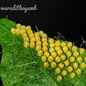 Tawny coster eggs