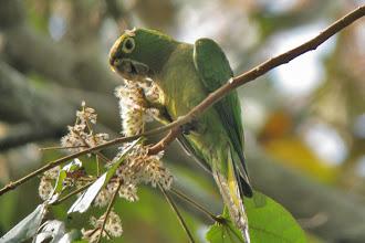 Photo: Olive-throated Parakeet