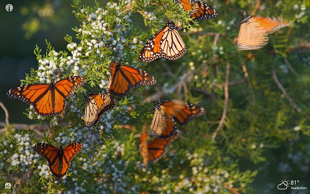 Monarch Butterfly Hd Wallpapers New Tab Theme