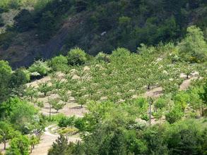 Photo: et les vergers d'abricotiers