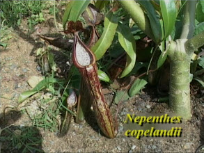 Photo: N. copelandii in Freilandkultur / Outdoor cultivation. Video image: S. Hartmeyer.