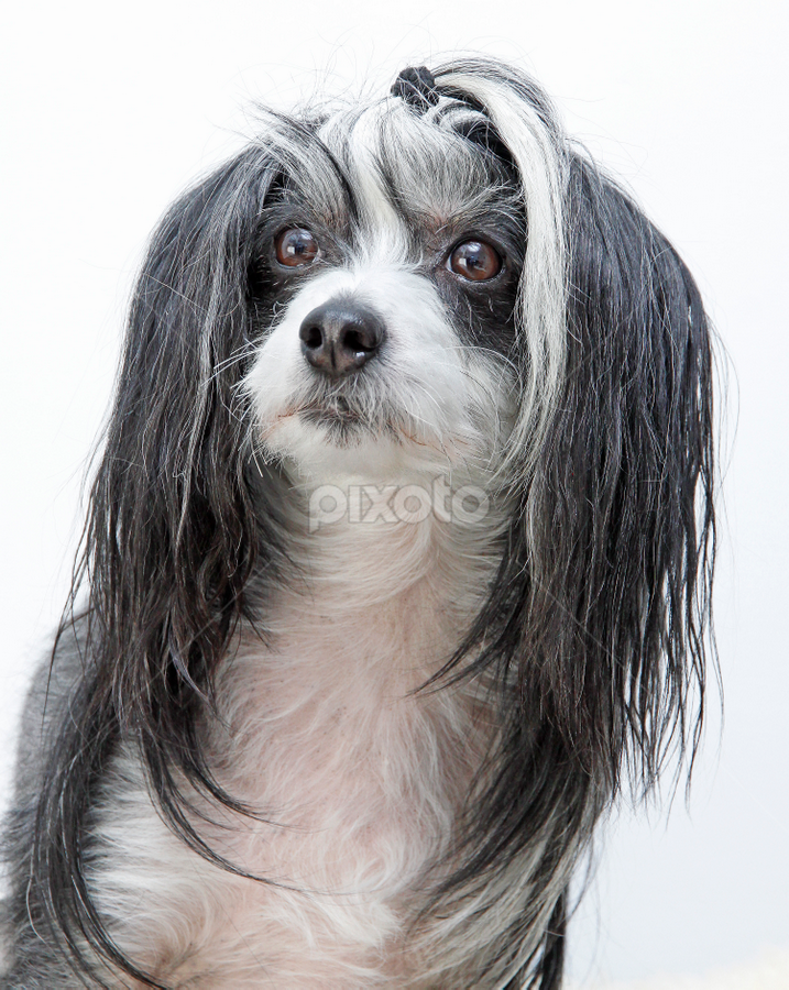 Black & white by Mia Ikonen - Animals - Dogs Portraits ( canine, gentle, pet, chinese crested, beautiful, finland, dog, cute, expressive, portrait, mia ikonen )