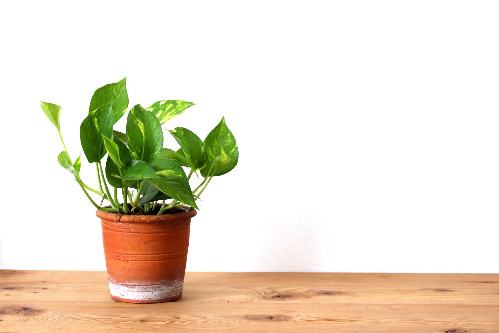 pothos plant care: pothos plant in a pot