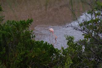 Photo: Feeding Flamingo