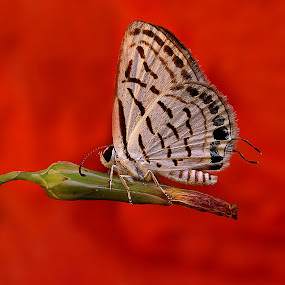 Detail of Butterfly by Agus  Sudarmanto - Animals Insects & Spiders