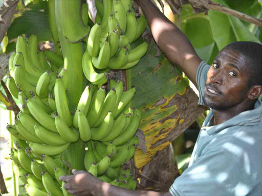 As fruit trees are cut, a hunger threat looms in Kenya