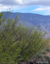 Photo: New growth on honey mesquite; Anza Borrego Desert State Park