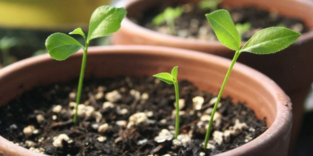 Grow A Lime Tree From Seed