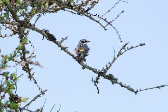 Photo: Yellow rumped warbler, Bidgoods Park