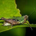 Scaria Grasshopper