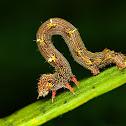 Geometer Moth caterpillar