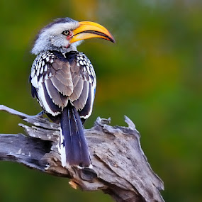 Yellow-billed Hornbill by Bostjan Pulko - Animals Birds ( bird, yellow-billed hornbill, south africa )