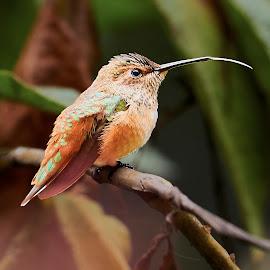 HummerFun 159~Q by Raphael RaCcoon - Animals Birds