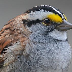 Do you like my eyeliner? by Steven Liffmann - Animals Birds ( bird, cmal bird, wildlife, white-throated sparrow, sparrow,  )