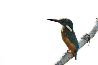 Photo: Martin Pescatore-Kingfisher di Domenico Pugliese su Flickr.  Segui questo link per vedere l'elemento (foto) e lasciare un commento: https://flic.kr/p/pN7TyE