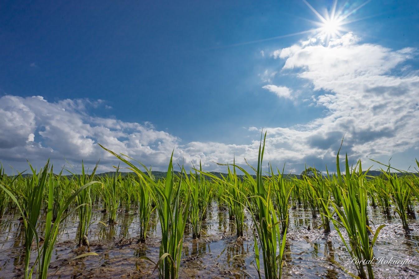分けつが進む稲の苗
