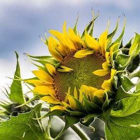 New Sunflower by Heather Campbell - Flowers Flower Gardens ( summer, sunflower, bloom, yellow, yellow flower, flower,  )