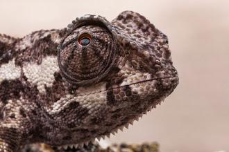 Photo: The flap-necked chameleon O camaleão-comum