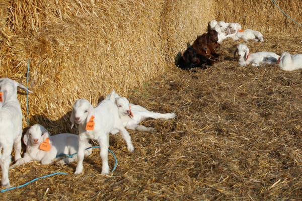 savannah goat kids enjoying straw wind break