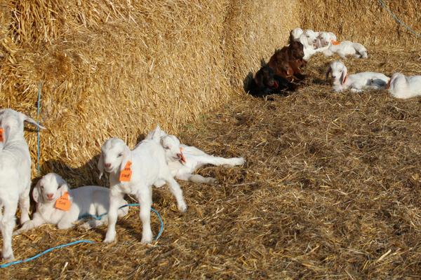 savannah goat kids enjoying straw wind break