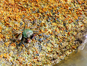 Photo: Year 2 Day 19 -  A Crab on the Rocks at Ca Na