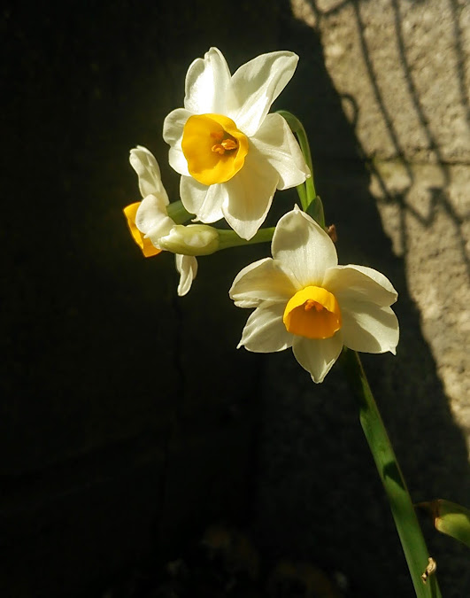 菜園の片隅に咲いた水仙
