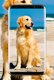 Golden Retriever Wallpaper Hd Alkalmazasok A Google Playen
