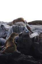 Photo: Sea Lion vs. Blue Footed Boobie