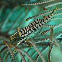 Crinoid Commensal Shrimp