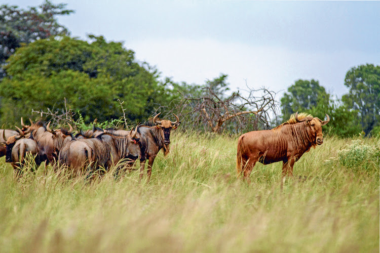 Falling gold price: A golden wildebeest, right, with a herd of split wildebeest in Limpopo. Picture: BLOOMBERG