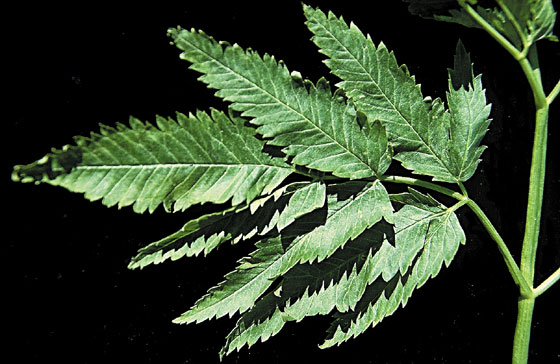 Water hemlock leaf showing veins running to each notch at the leaf's margin