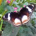 Sunda Great Eggfly