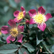 Photo: Wildrose Glauca/Hecht-Rose