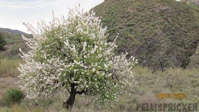 Photo: En del blommar i vit färg andra rosa, det finns färgskalan från vitaste vitt till varmt rosa