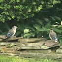 Northern Blue Jay (Fledglings)