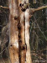 Photo: Old pine