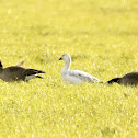 Snow Goose (juvenile)