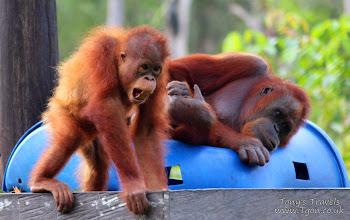 Photo: Orangutans in Balikpapan, East Borneo, Indonesia