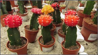 Photo: Cactus (Cactaceae), pentru o buna dispozitie, oferit de DEDEMAN in Turda  - 2019.02.02