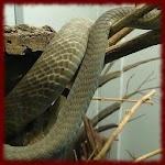 Mamba Snakes wallpapers