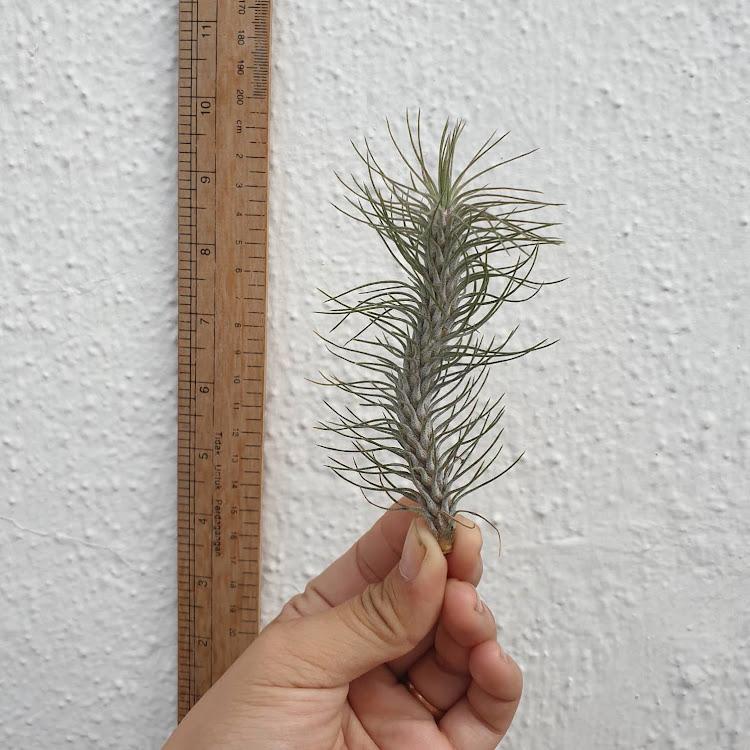 Tillandsia funckiana var. recurvifolia
